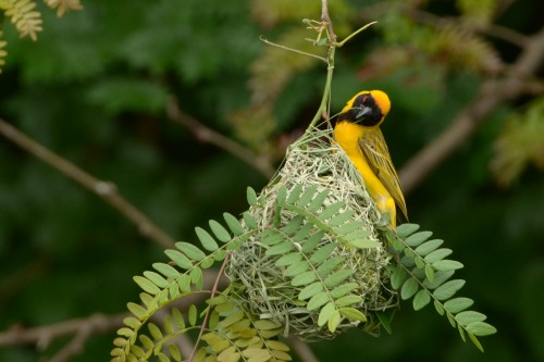 Male Masked Weaver building its nest