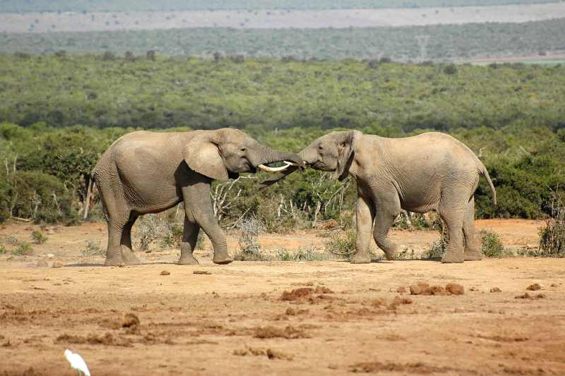 Elephants sparring at Addo Elephant National Park