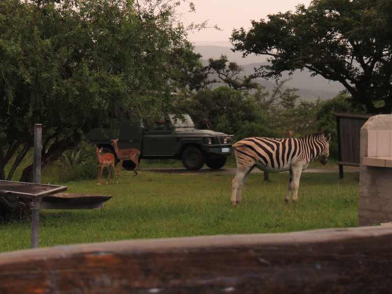Impala and Zebra at Mpila Camp in iMfolozi Game Reserve