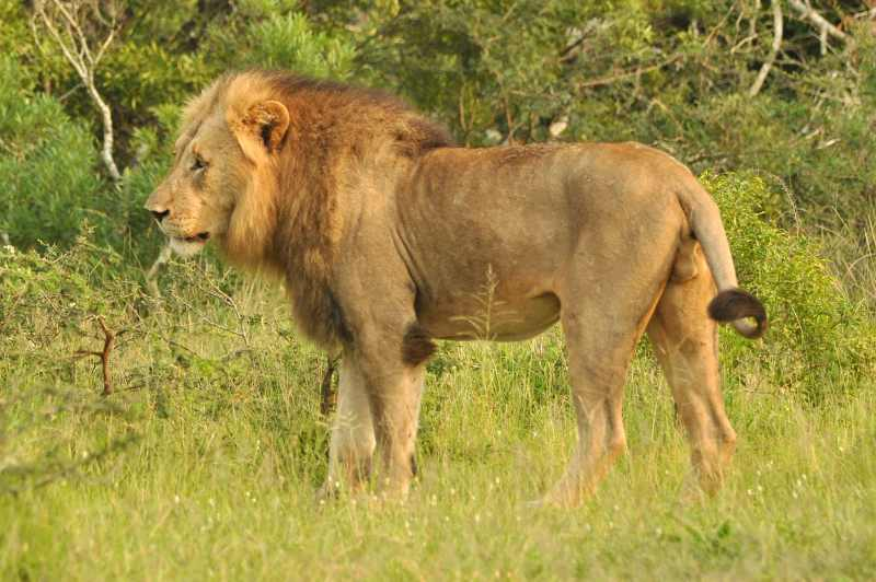 Lion at iMfolozi Game Reserve