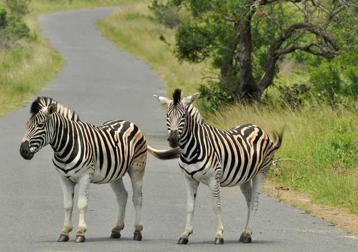 Zebras block the road in iMfolozi Game Reserve