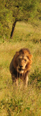 A male Lion heads straight for the camera in Kruger National Park