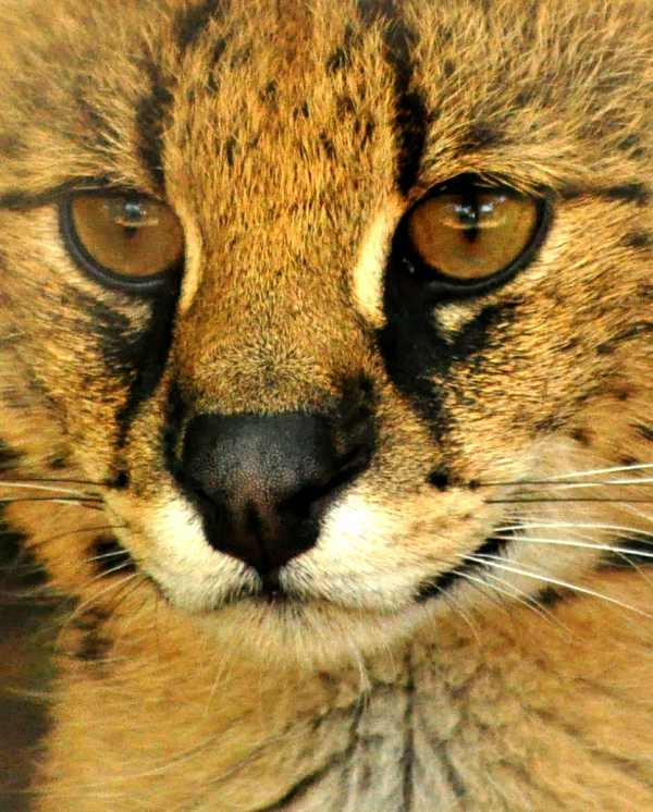 Close-up portrait of a Serval