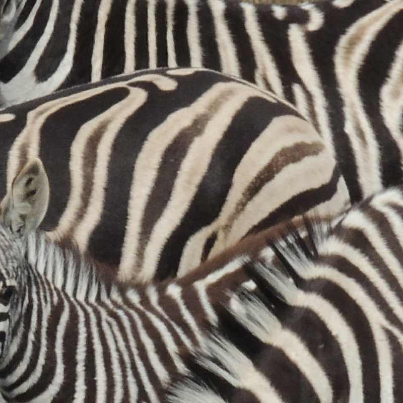 Does the black and white pattern of a Burchell's Zebra confuse predators?