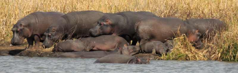 Hippo having a lazy day by the dam