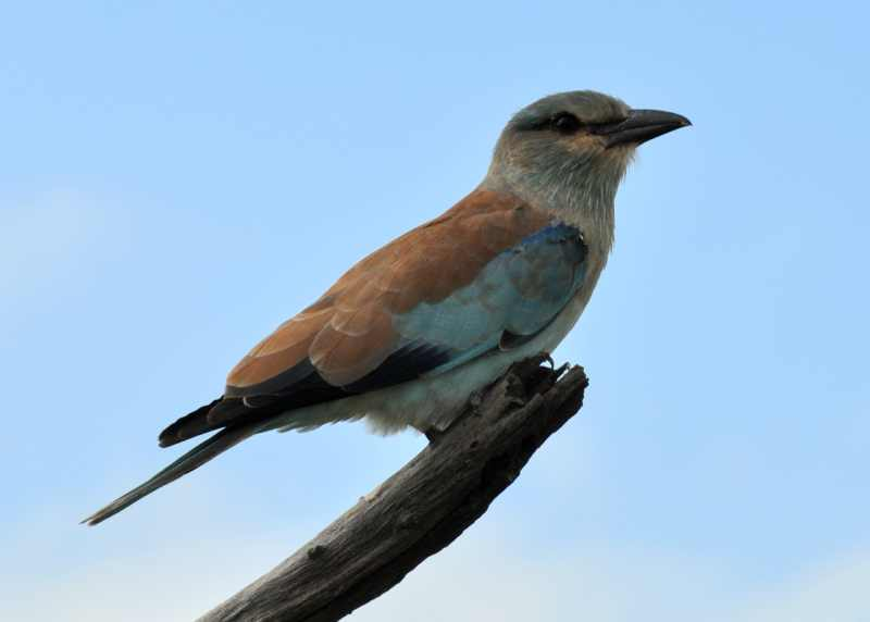 A European Roller on a typically exposed perch
