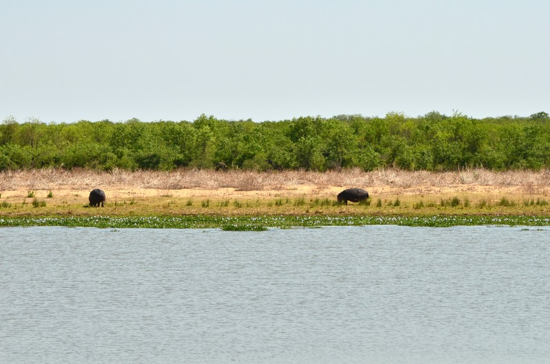 Hippos graze near the river