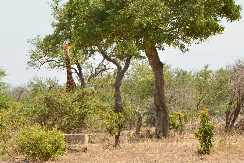 Giraffe at Ratel Pan