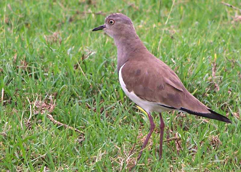 Adult Black-winged Lapwing