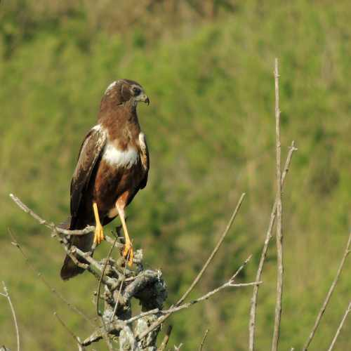 An African Marsh Harrier patrols the grasslands looking for prey