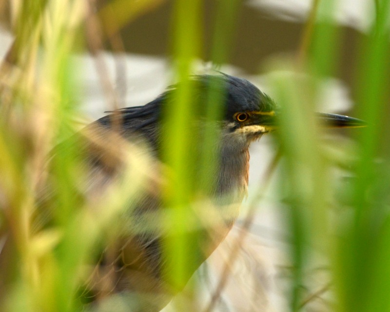 Green-backed Heron amongst the reeds