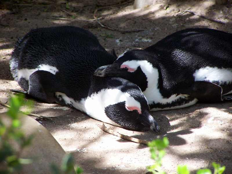 African Penguins at Boulders Beach in the Western Cape