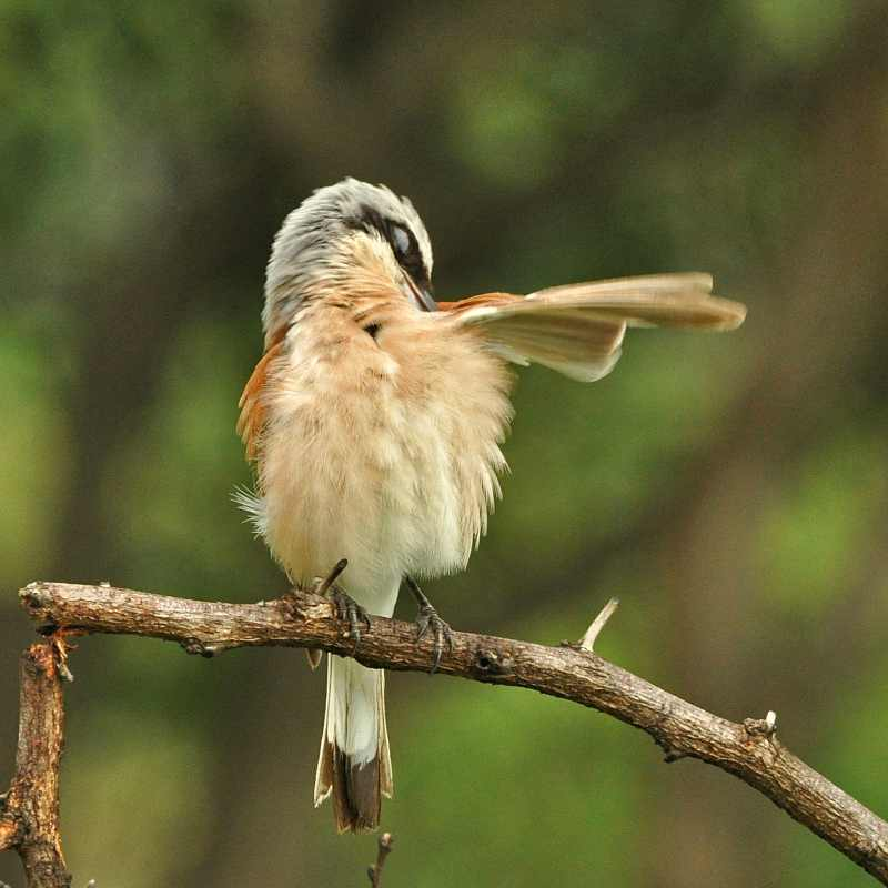 A Red-backed Shrike preening in iMfolozi Game Reserve