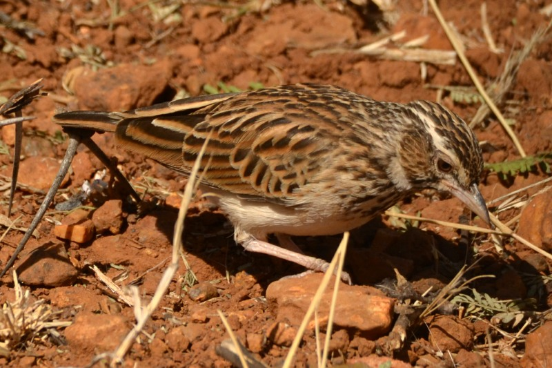 These larks are normally seen on the ground