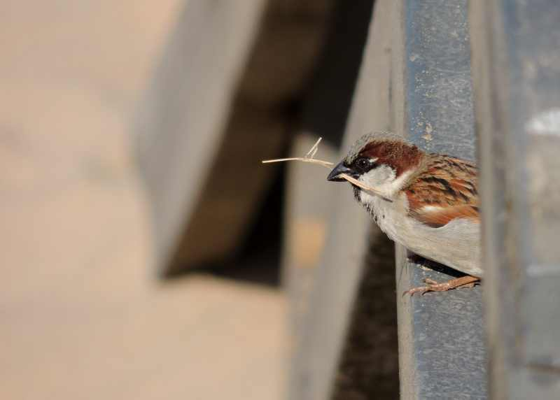 Male House Sparrow with some nesting material at Brighton Beach, Durban