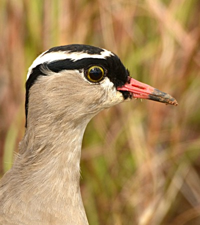 Crowned Lapwing portrait