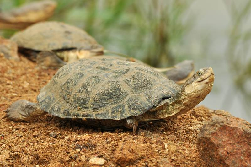 Marsh Terrapins may often be seen basking on the banks of a pond