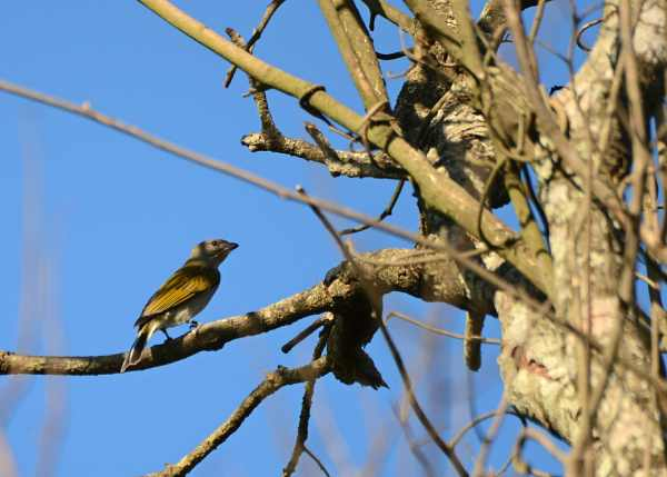 Lesser Honeyguide at Vernon Crookes Nature Reserve