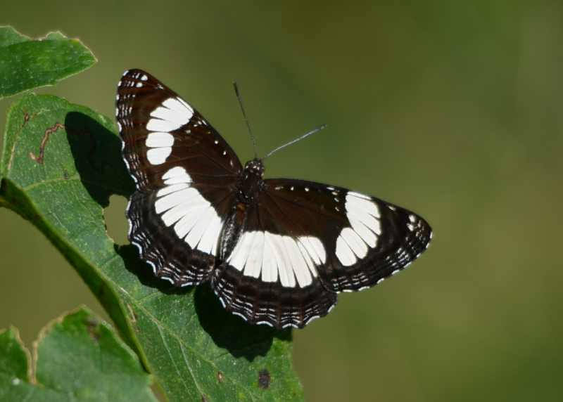 Common Sailer butterfly
