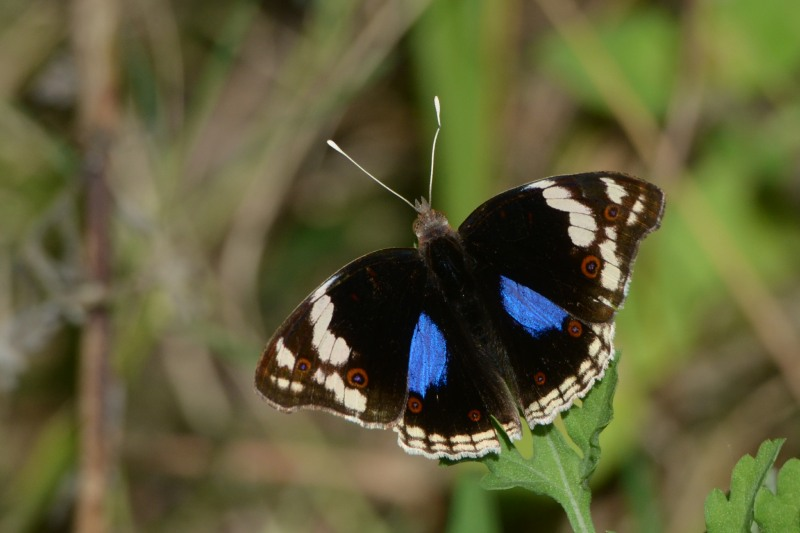 Blue Pansy butterfly at Kenneth Stainbank Nature Reserve