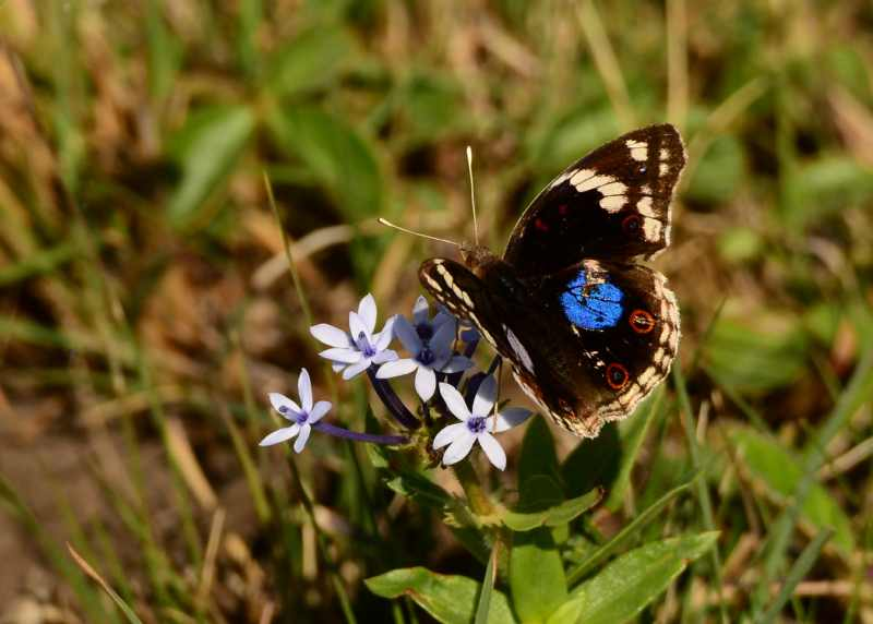 Blue Pansy butterfly at Vernon Crookes Nature Reserve