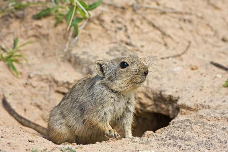 Brants's Whistling Rat coming out its burrow