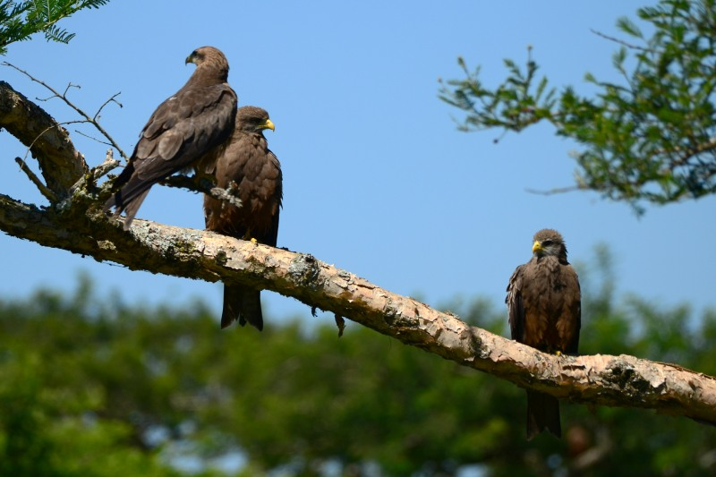 Yellow-billed Kites at Albert Falls Dam