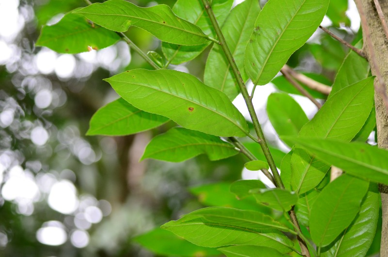 Leaves of The Jumping Seed Tree