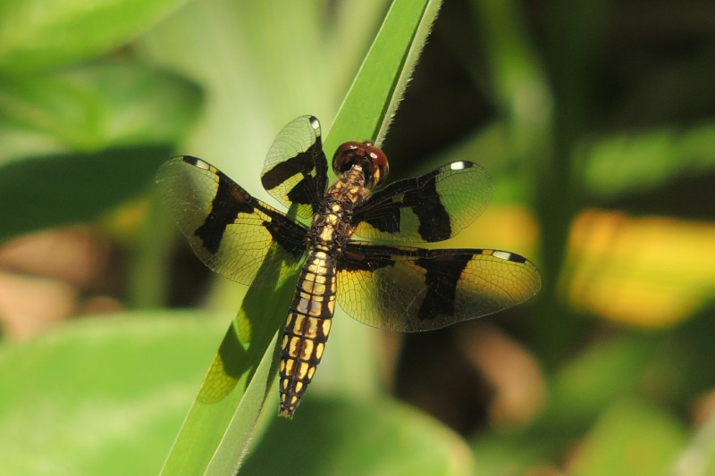 Dragonfly at Pigeon Valley