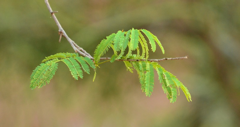 Leaves of the Mountain False-thorn
