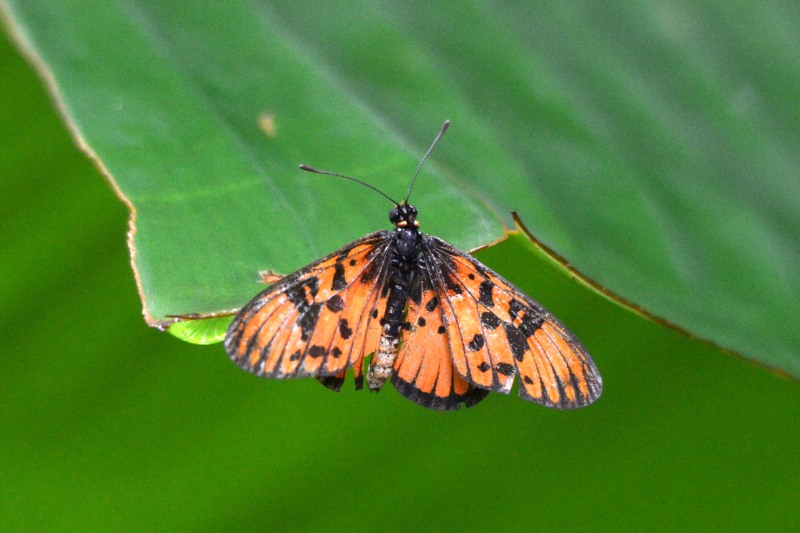 Blood-red Acraea